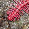 pink-milipede.jpg