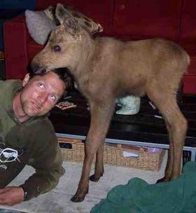 moose-calf.jpg