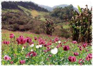 opium-field.jpg