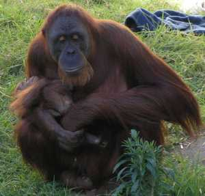 626px-female_orangutan__baby_perthzoo_smc_sept_2005.jpg
