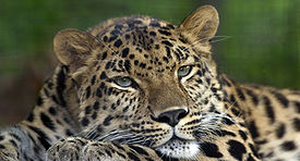 amur-leopaed-pittsb-zoo