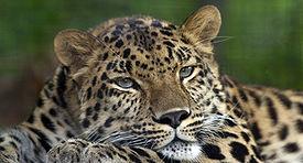 amur-leopaed-pittsb-zoo.jpg