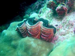 giant-clam-fluted.jpg