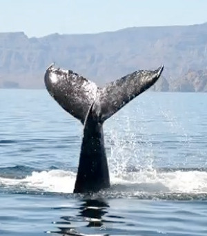humpback-whale-tail-Great-Whale-Conservancy
