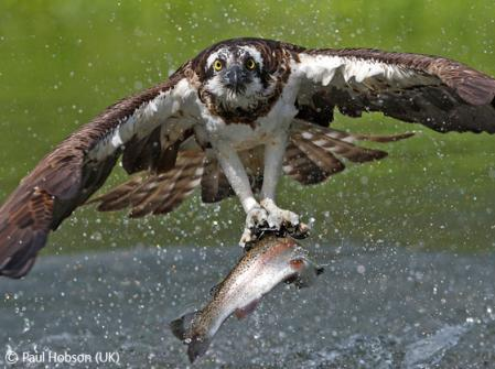 osprey-snatch-paul-hobson.jpg