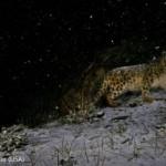 snow-leopard-phtog-steve-winter.jpg