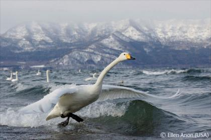 whooper-lift-off-ellen-anon.jpg