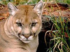 florida-panther.jpg