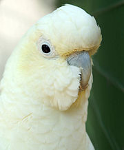 red-vented_cockatoo.jpg