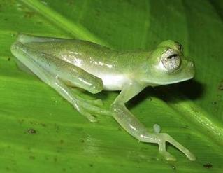 glass-frog.jpg
