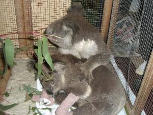 koalas-survive-fires.jpg