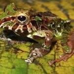 rain-frog-colombia.jpg