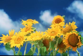 sunflower photo by Sun Star