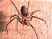 brown-recluse-spider.jpg