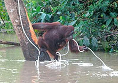 orangutan-catches-rope.jpg