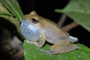 singing-frog-papua-steve-richards.jpg