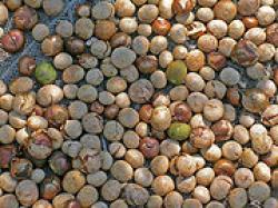 maya-nuts.jpg