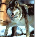 mexican-gray-wolf.jpg
