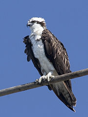 osprey_perched.jpg