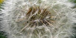 wishing seeds