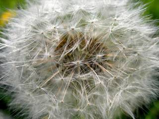 photo of dandelion by friend of GNN