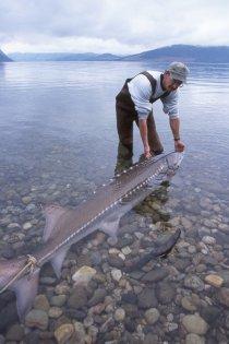 arrow_sturgeon_canada-gov.jpg