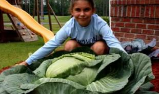 cabbage grown by girl -File Photo