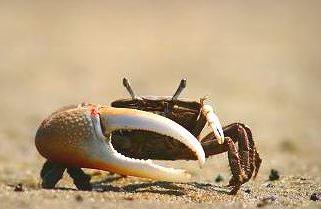 ches-bay-crab.jpg