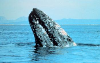 gray_whale-noaa.jpg