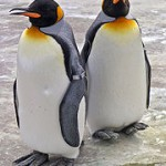 king-penguins-zoo.jpg