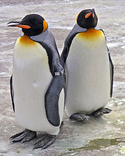 king-penguins-zoo.jpg