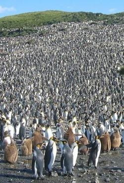 penguin-colony-kings-gnu.jpg
