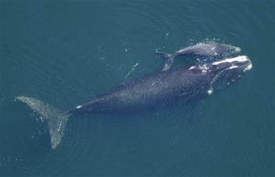 right-whale-w-calf.jpg