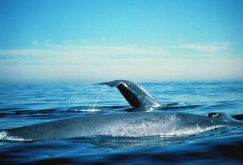 blue whales - photo by NOAA