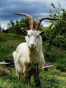 irish_goat.jpg
