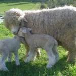 lambs-romney-shiquolt-nz