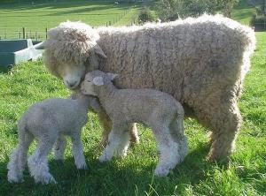 lambs-romney-shiquolt-nz.jpg