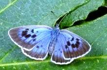 large-blue-butterfly.jpg