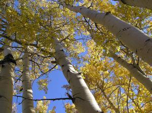 aspen-trees-scott-catron-gnu.jpg