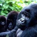 gorillas photo WWF's Martin Harvey