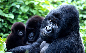 mountain gorillas - photo (c) WWF, Martin Harvey