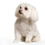 maltese-poodle.jpg