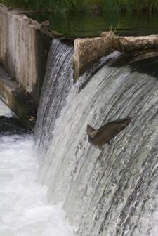 salmon-run-dam.jpg