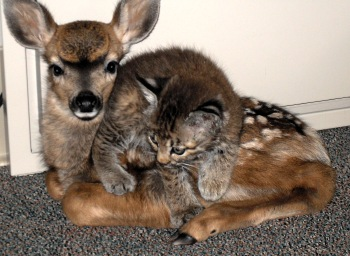 fawn-bobcat-baby.jpg
