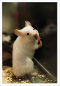 lab-mouse-cc-flickr-be_khe.jpg