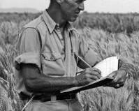 norman-borlaug-wheat.jpg