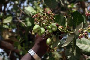 cashew-tree-bissau-irin.jpg