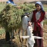 Egyptians harvesting crops, USAID