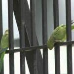 parakeets-in-brooklyn.jpg