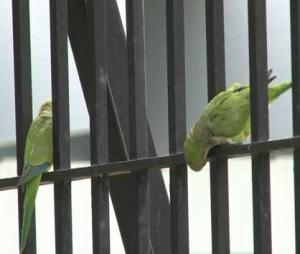 parakeets-in-brooklyn.jpg
